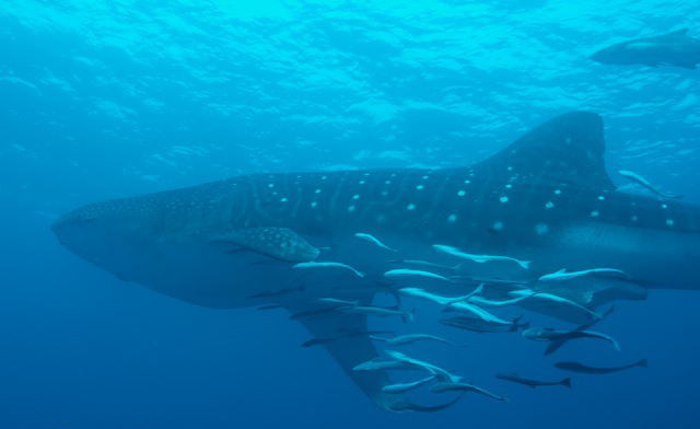 A whale shark swims with a school of fish at Breakers Reef. Photo by Dennis Whitestone.